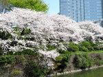 桜満開_1.jpg