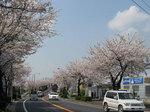 misatosakura2.jpg