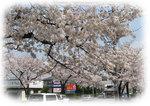 misatosakura4.jpg