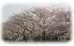 yoshikawasakura4.jpg